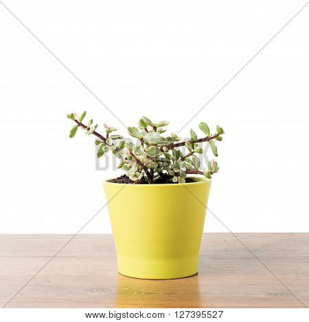 Portulacaria Afra : cactus a kind of succulent in  ceramic pot