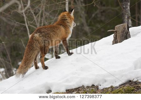 a european , red fox standing in snow