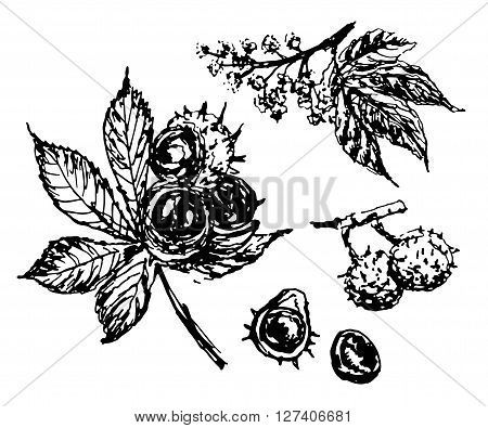 drawing elements set of isolated elements of the chestnut-tree branch with a large leaf, inflorescence and nuts, sketch, hand-drawn vector illustration