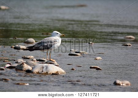 Adult individual of in the shallow water of a mountain river in the Black Sea coast. ** Note: Soft Focus at 100%, best at smaller sizes
