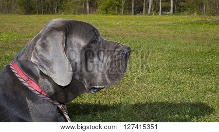 Purebred blue Great Dane that is watching something in a field