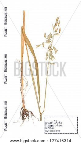 Pressed herbarium plant parts oat. Leaves stems roots ear and grain isolated on white