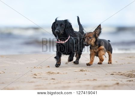 adorable dachshund dog running with a puppy