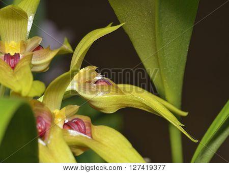 Robust Cirrhopetalum Orchid - Bulbophyllum graveolens From New Guinea rainforests
