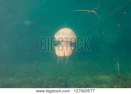 Big Jellyfish swimming underwater of Trieste sea