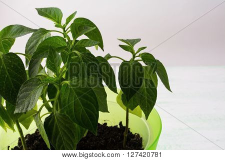 Young paprika plant close up copy space. Ecology concept. Green leaf. Green leaves. Green plant. Plant pot. Green sprout Young plant. Growing plant. Baby plant