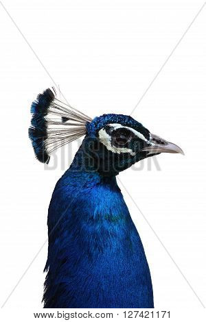 Profile of Male Indian Peafowl with White Background