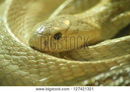 Viper Gold reptile danger. Some species of wildlife protection.