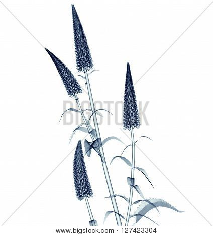 X-ray Image Of A Flower Isolated On White , The Gooseneck Loosestrife