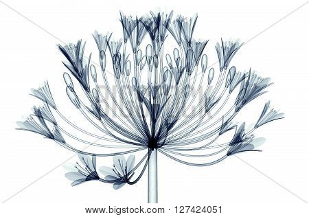 X-ray Image Of A Flower Isolated On White , Bell Agapanthus