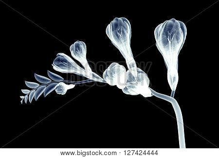 X-ray Image Of A Flower Isolated On Black , The Freesia