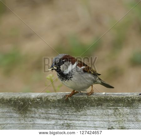 A House Sparrow (Passer domesticus), an Old World Sparrow, sitting on a fence with its beak full of food.