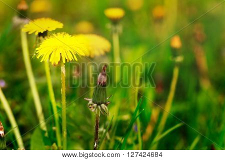 Yellow dandelion,coltsfoot,summer vacation relax romantic,not focused rays sun,spring