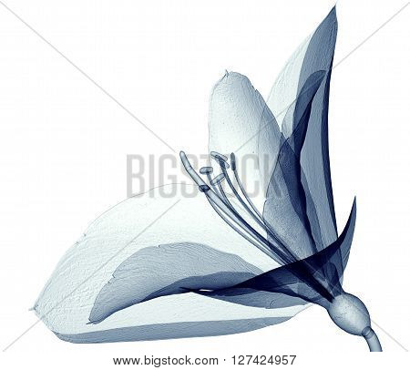 X-ray Image Of A Flower Isolated On White , The Amaryllis