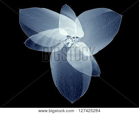 X-ray Image Of A Flower Isolated On Black , The Amaryllis
