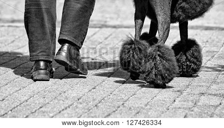 Man and dog waling in the street, body part of man and dog walking in the street, black dog and mans leg, black and white photo
