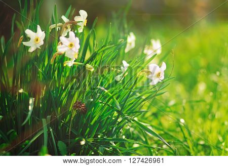 white narcissus with green grass and ray of sun,not focused,summer,spring,flower garden,toned,nature