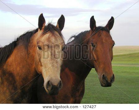 Horse Buddies In Pasture