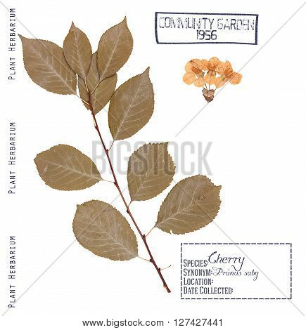 Herbarium of pressed parts cherry tree. Leaves stem and flowers of cherry tree isolated on white