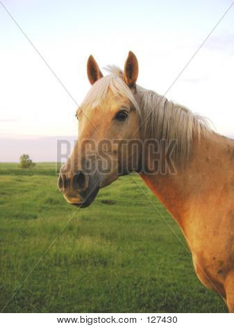 Portrait Of A Beautiful Palomino
