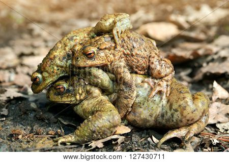 Mating frogs - Toad ,Bufo Bufo