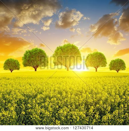Spring landscape with rapeseed field and trees at sunset.
