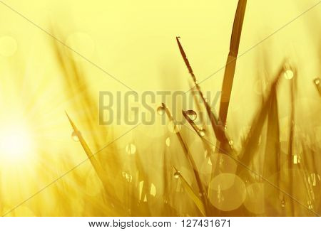 Fresh grass with dew drops at sunrise. Nature Background