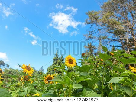 Field With Sunflowers On A Background Of Blue Sky