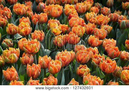 Beautiful Of Tulips