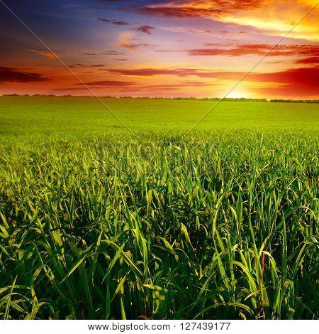 Beautiful sunset on wheat field