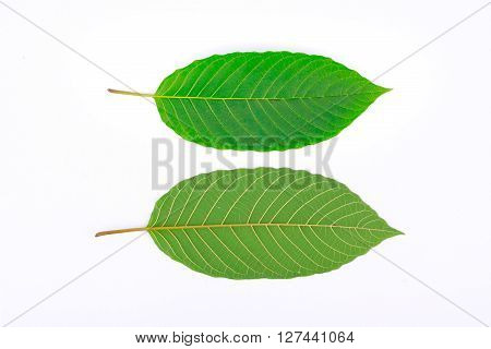 Kratom leaf (Mitragyna speciosa), a plant of the madder family used as a habitforming drug
