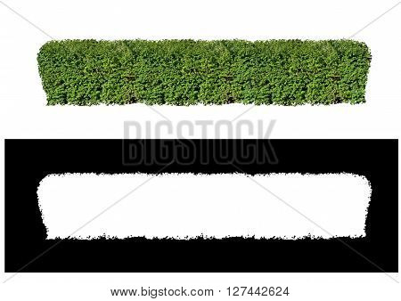 Green hedge of evergreen boxwood shrubs clipped with an alpha channel on a white background