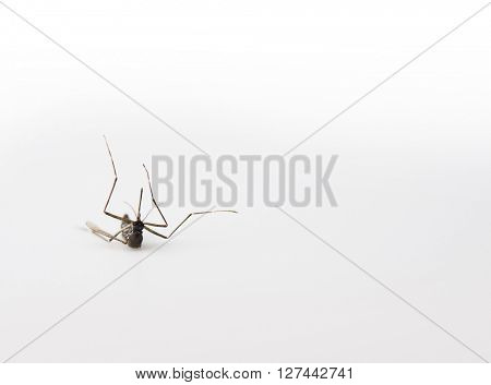 Downed mosquito, isolated on natural white.