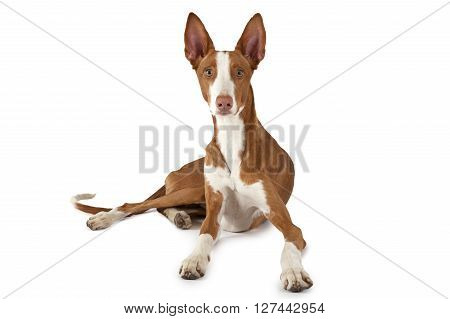 Ibizan Hound (Podenco ibicenco) dog lying in front of white background and looking at the camera
