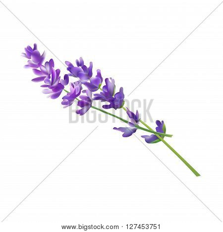 Lavender Flower Elements. Vector Illustration. Isolated On White Background