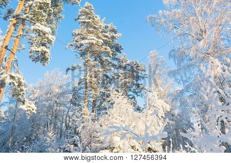 Frosty Glow Snowy Fir Trees