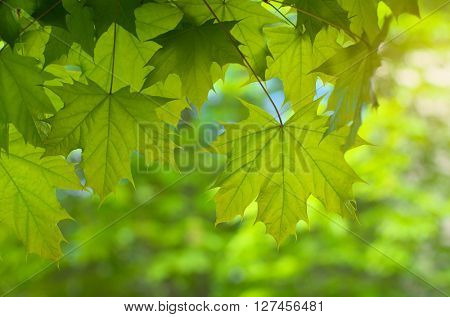 Spring leaf of maple. Composition of nature.