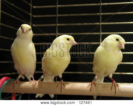 Three Canaries In Cage