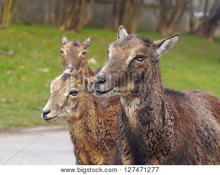 MouflMouflon roe. Three doe in the park.