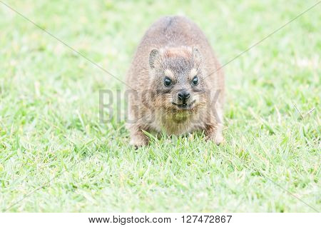 Only the face of a Rock Hyrax Procavia capensis is in focus to show forward movement and attack