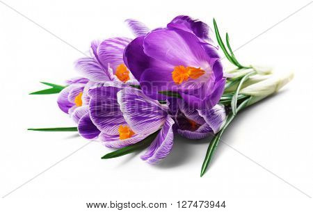 Beautiful crocus flowers isolated on white