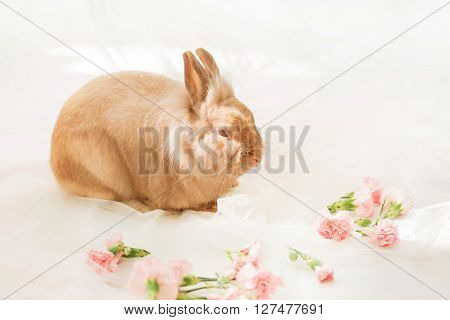 Rabbit On A White Background Near Pink Carnation Flowers.