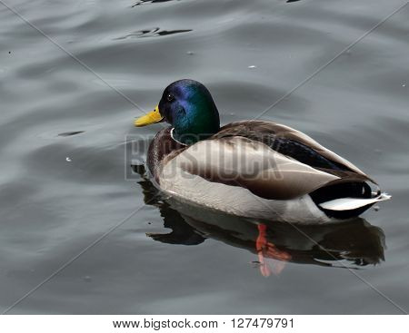 Wild male duck on the grey water
