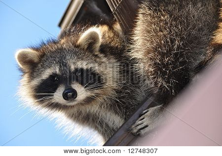 Coon on a Roof