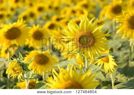 Sunflower Fields In Addition To Agricultural Produce Is Beautiful And Became A Tourist Attraction.