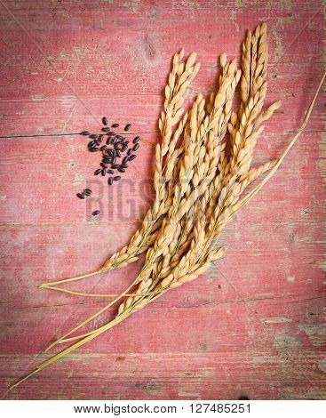 Spikelets of rice on pink wooden background with grain of black rice