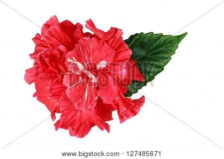 Sudanese rose flower used for making tea Hibiscus.