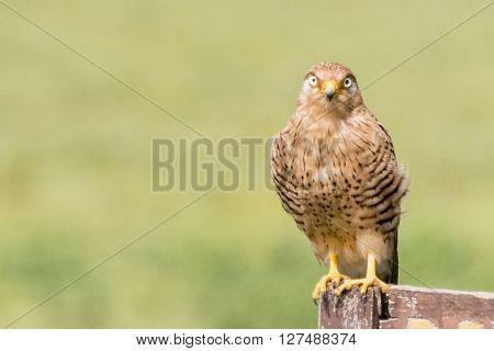A hawk perched on a sign on the Serengeti in Tanzania, Africa