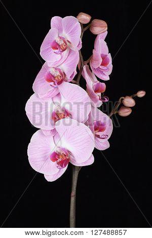 Pink streaked orchid flower (Phalaenopsis) on black background