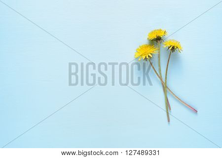 Dandelion flowers on blue table with copy-space
